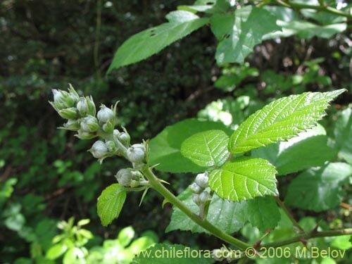 Rubus constrictus 2 ok